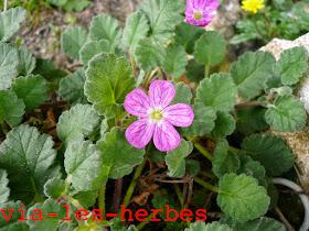 Erodium de Corse Erodium corsicum Geraniacees 2.jpg