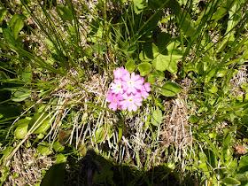 primevere farineuse Primula farinosa  2.JPG