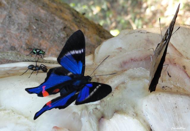 Rhetus periander (CRAMER, 1777), mâle, et Doxocopa agathina vacuna (GODART, [1824]). À proximité du Rio Teles Pires, município de Nova Canaã do Norte (Mato Grosso, Brésil), 11 juin 2011. Photo : Cidinha Rissi