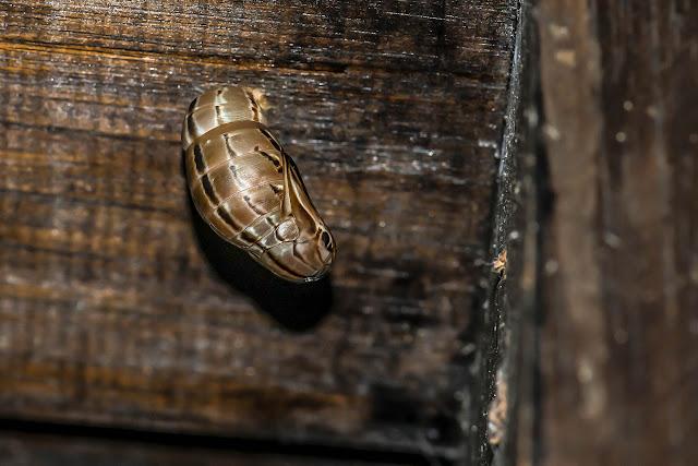 Chrysalide de Brassolis sophorae luridus Stichel, 1902. Fundo Palmarito, 265 m (Casanare, Colombie), 7 novembre 2015. Photo : B. Lalanne-Cassou