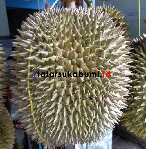 Durian Gandaria asal Cikakak Sukabumi / Foto : Rudi Imelda
