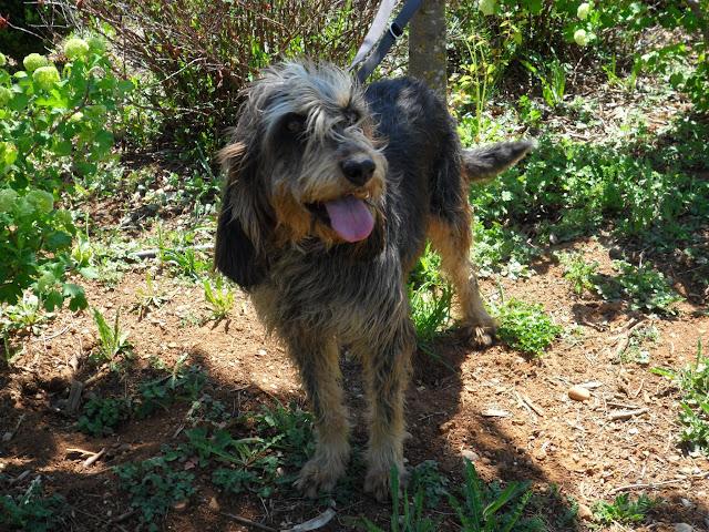 LIZZIE - x griffon nivernais (griffon bleu de Gascogne) 10 ans  - Refuge de Sisteron (04) SAM_8783