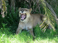 Lioness - Okavango Delta