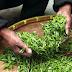 """ดื่มชามีประโยชน์อย่างไร? ทำความรู้จัก """"ใบชา"""" เครื่องดื่มเพื่อสุขภาพ"""