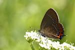 Slåensommerfugl, pruni2.jpg