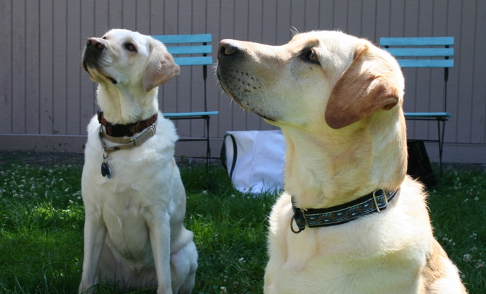 both dogs in a sit, looking up at martha who is not in the frame, as they await their command and reward