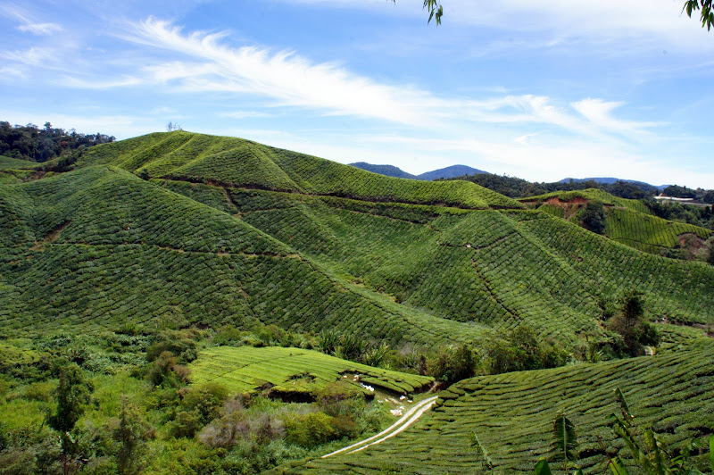 Die Teeplantagen