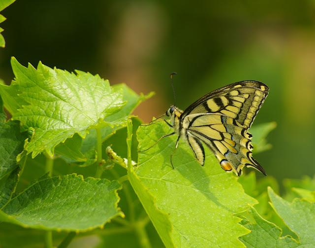 Papilio machaon LINNAEUS, 1758. Bages (Pyr. Orientales), juin 2007. Photo : J.-M. Gayman