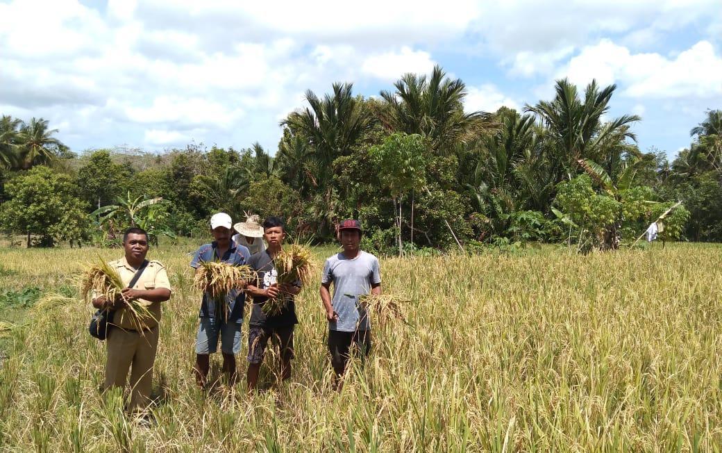 Pastikan Produksi Terus Berjalan, BPP Benteng Bontoharu Dampingi Petani Binaan Panen Padi