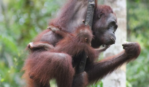 Hewan Satwa Langka di Indonesia Orang Utan Tanjung Puting