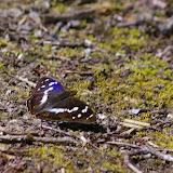 Apatura iris LINNAEUS, 1758, mâle. Les Hautes-Lisières, 13 juillet 2009. Photo : J.-M. Gayman