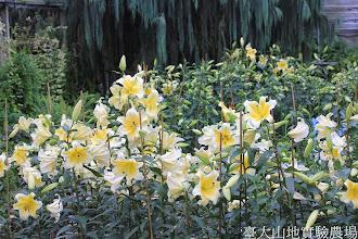 Photo: 拍攝地點: 梅峰-溫帶花卉區 拍攝植物: 香水百合 拍攝日期: 2014_07_27_FY