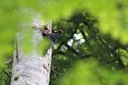 A LA SOUPE   Nourrissage des jeunes pics par le mâle à la calotte entièrement rouge