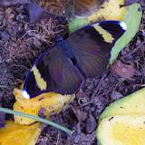 Euphaedra losinga HEWITSON, 1865, mâle. Ebogo (Cameroun), 9 avril 2012. Photo : J.-M. Gayman