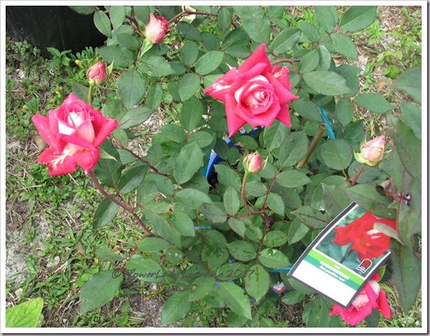 02-13-love-grandiflora4