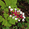 Dolls Eyes or Baneberry
