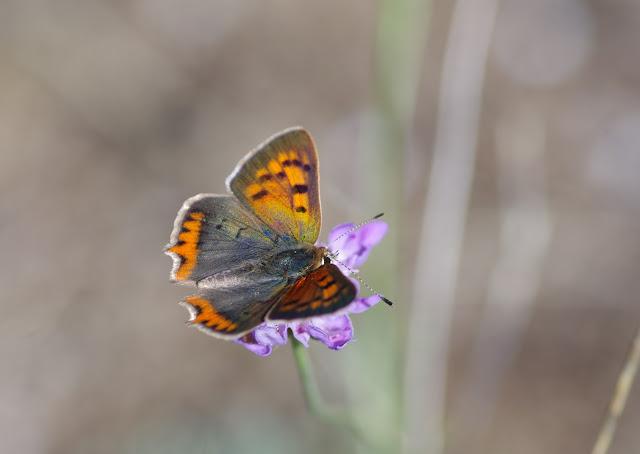 Lycaena phlaeas (L., 1761), mâle. Les Hautes-Courennes (550 m), Saint-Martin-de-Castillon (Vaucluse), 21 juin 2015. Photo : J.-M. Gayman