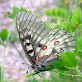Parnassius (Parnassius) bremeri orotschonica BANG-HAAS, 1927, femelle. Monts Sikhota-Alin (Oussouri). Photo : Y. N. Sidelnikov