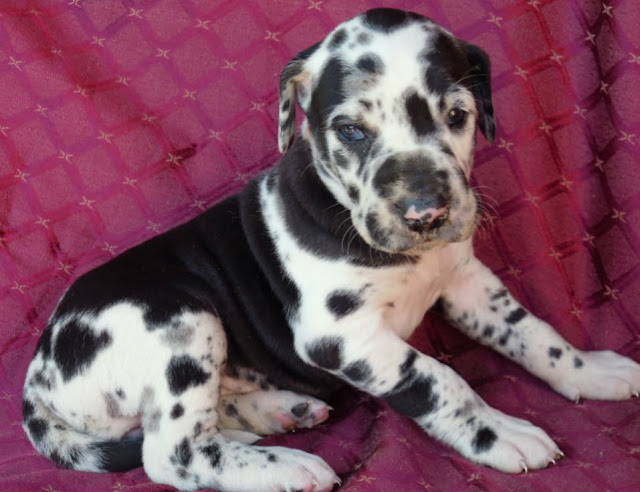 Gretta's darkest harlequin girl @ 4 weeks/available