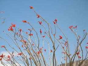 Brilliant orange Ocotillo blossoms