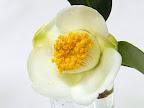 白色 一重 筒〜ラッパ咲き 丸弁 小輪