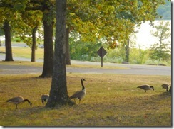 Resident Canada Geese