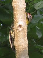 Laced Woodpecker (Picus vittatus)
