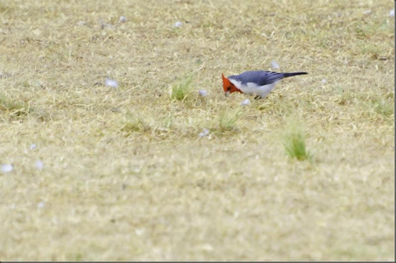 cardenal común_aa