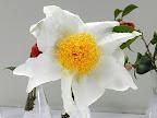 白色 八重 平開咲き 大〜極大輪