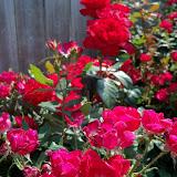Gardening 2011 - 100_7947.JPG