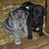 Gretta & Cobalt Blues 3/24/12 litter - SAM_3450.JPG
