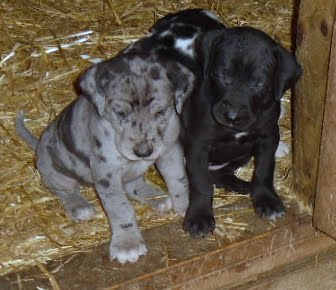 Gretta & Cobalt Blues 3/24/12 litter - SAM_3450.JPG