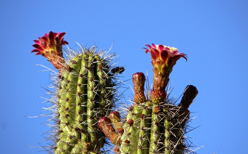 Цветет кактус Органная Труба