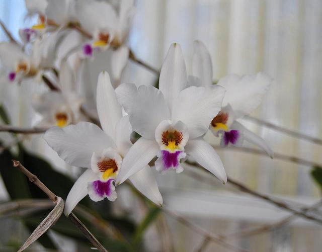 Растения из Тюмени. Краткий обзор - Страница 4 Laelia%252520anceps%252520var.%252520sanderiana