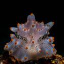 Halgerda batangas Nudibranch