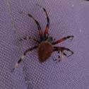 Hentz Orbweaver, Barn Spider (however, Araneus cavaticus uses the same common name)