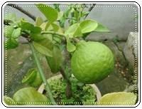 คำศัพท์ภาษาอังกฤษ_citrus hystrix_Vegetable