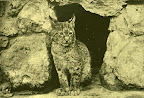 Hiuz a budapesti állatkertben, 1895 (Fotó: OSZK)