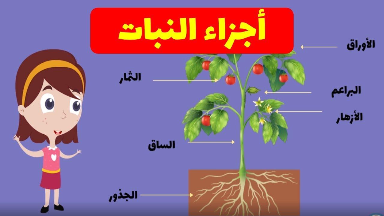 أجزاء النبات شرح وافي وبسيط للصفوف الأولي