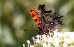 Det hvide C på hvid sommerfuglebusk.jpg