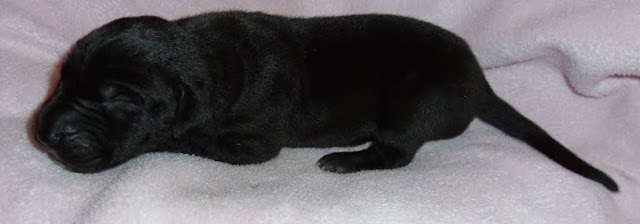 solid black girl @ 1 week/available