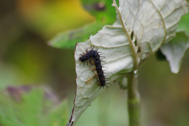 Chenille de Nymphalidae. Piste de Gualchan à Chical, 2200 m (Carchi, Équateur), 22 novembre 2013. Photo : J.-M. Gayman