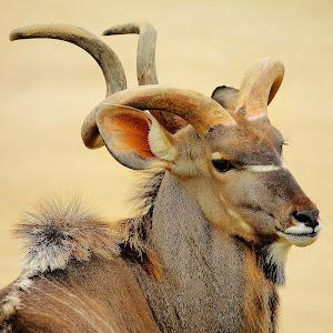 Mr Kudu.jpg