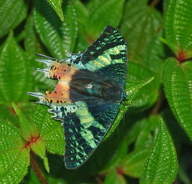 Uraniidae : Chrysiridia rhipheus (DRURY, 1773), endémique. Parc des orchidées d'Andasibe (Madagascar), 28 décembre 2013. Photo : T. Laugier