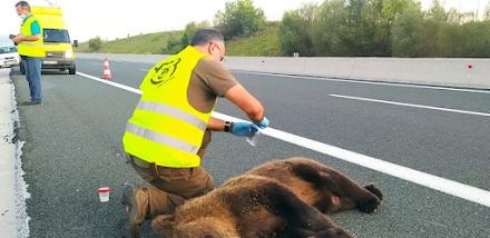 Θύμα τροχαίου έπεσε μια νεαρή αρκούδα στην Εγνατία