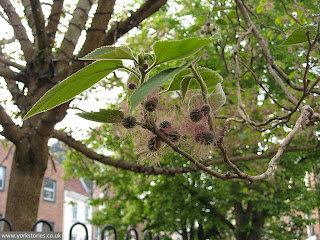 Mulberry tree, in King's Square in June 2013. To be chopped down in the early spring of 2014, as part of the 'Reinvigorate York' project. Beautifully vigorous, but not the right kind of vigorous and it's in an offensive planter. Or something.