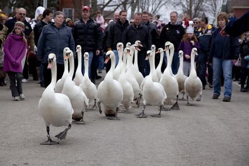 Stratford's Swan Parade Weekend Salutes Spring