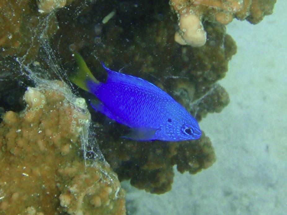 Pomacentrus pavo (Peacock Damselfish), Aitutaki.