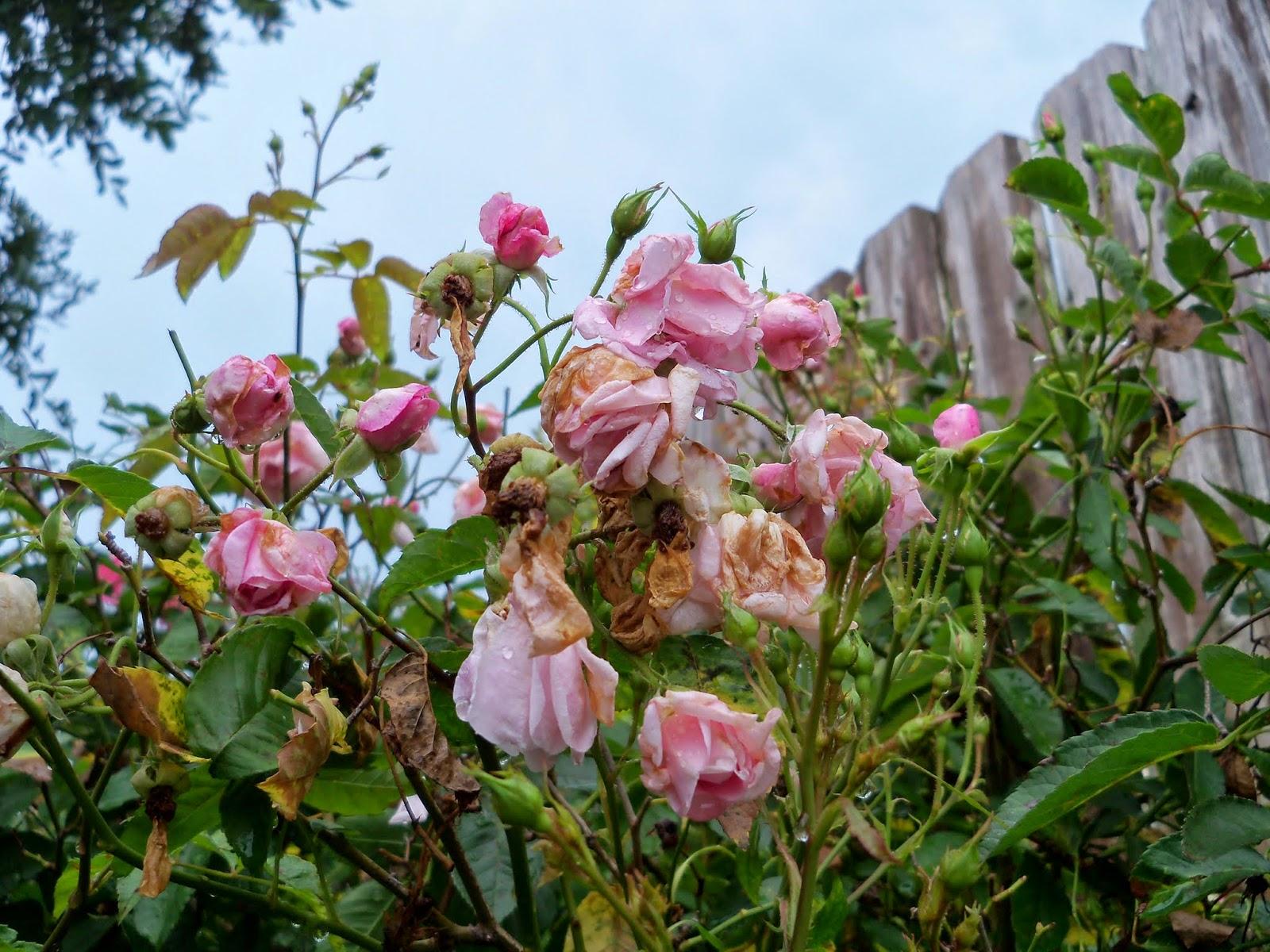Gardening 2014 - 116_2608.JPG