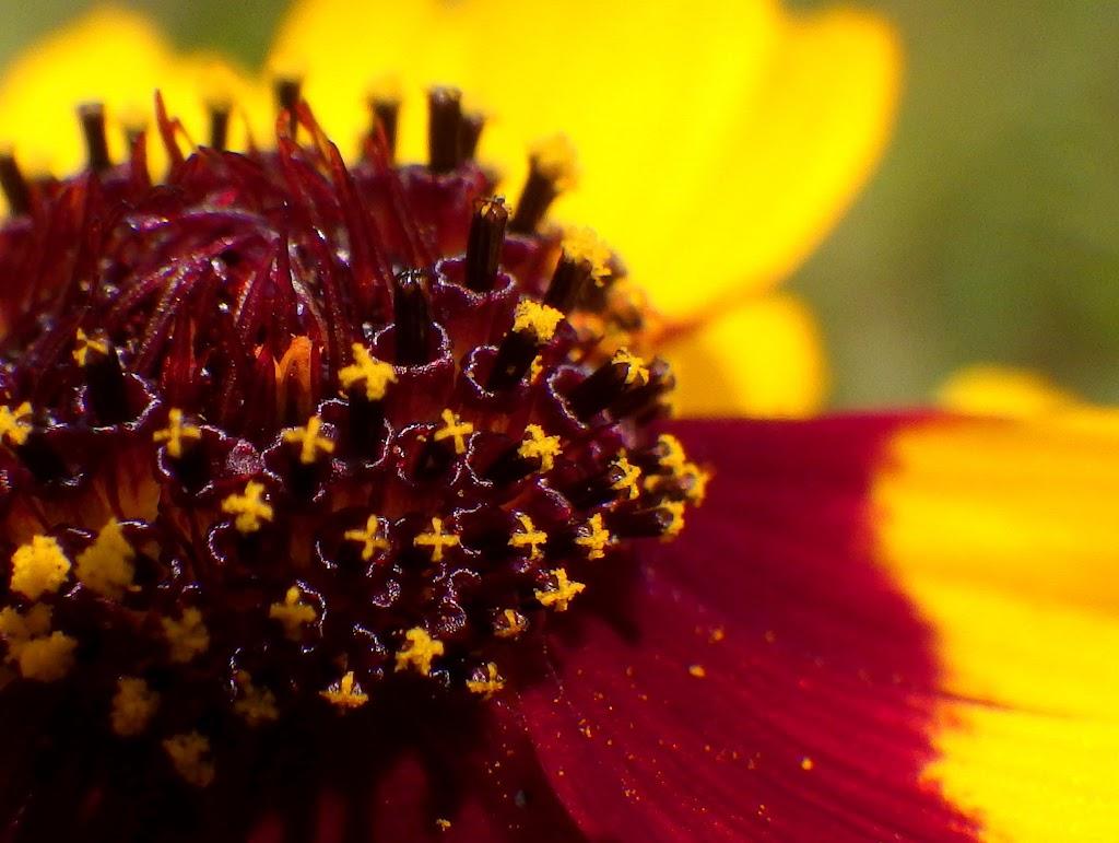 筒状花、雄しべ
